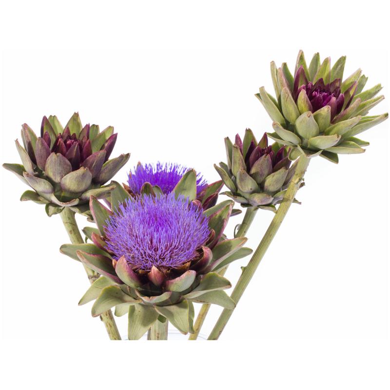 Artisjok bloem in vaas
