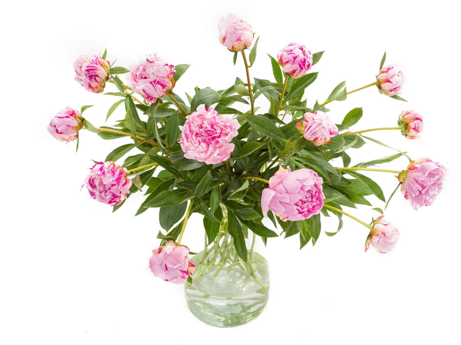 Roze pioenrozen kopen