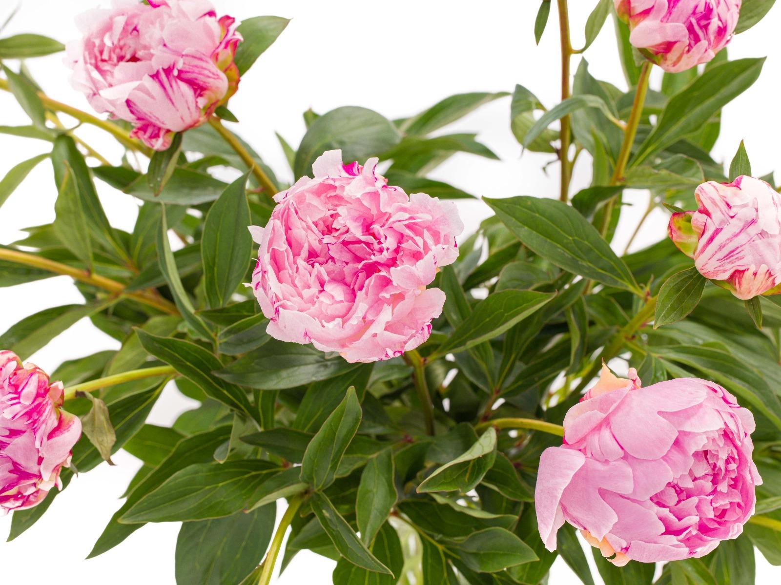 Pioenrozen roze kopen