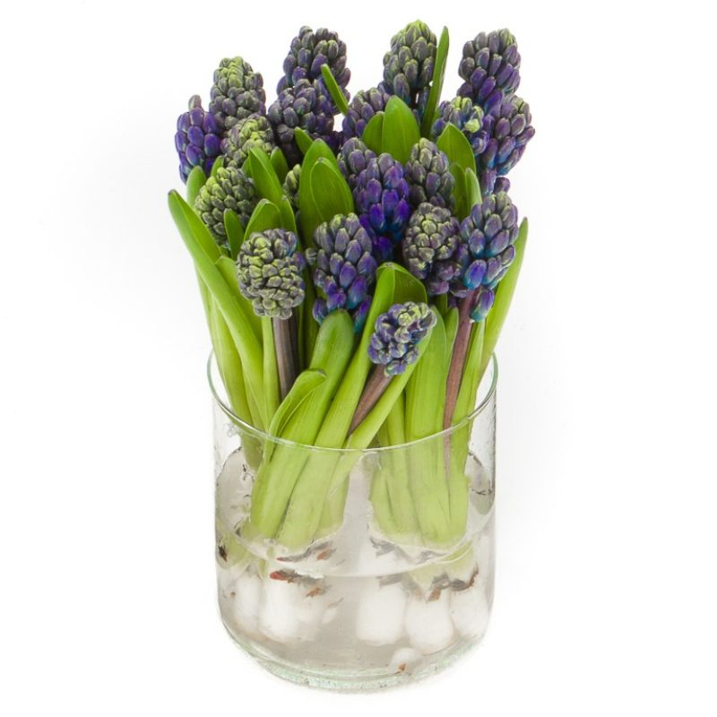 blauwe hyacinten