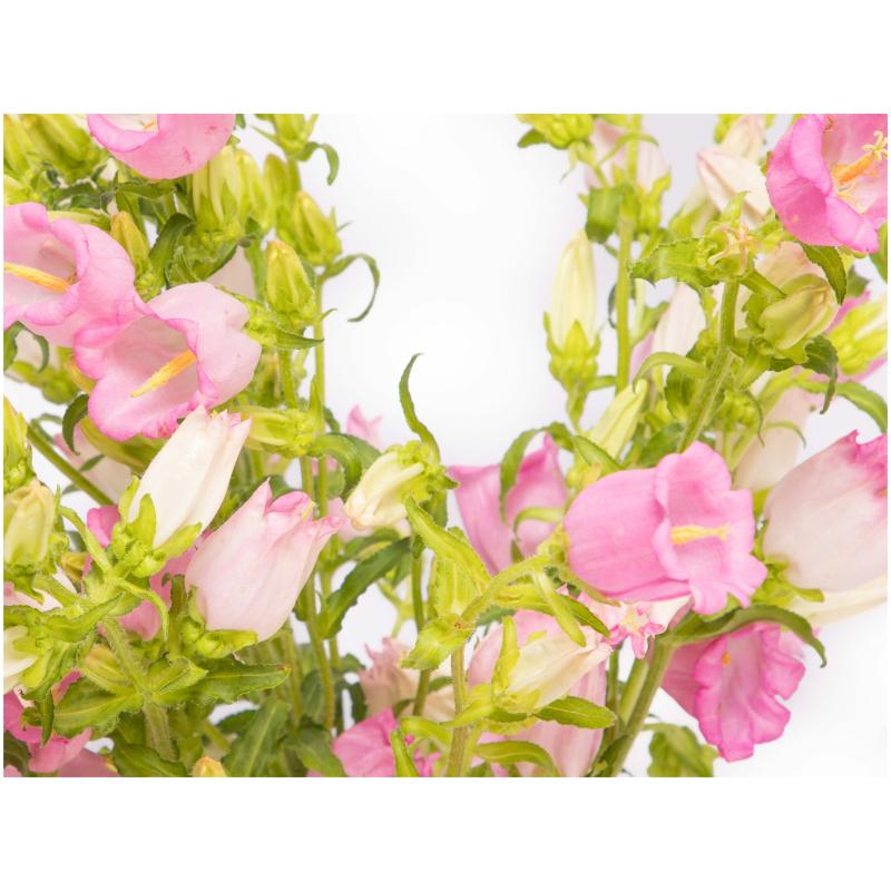 Campanula roze