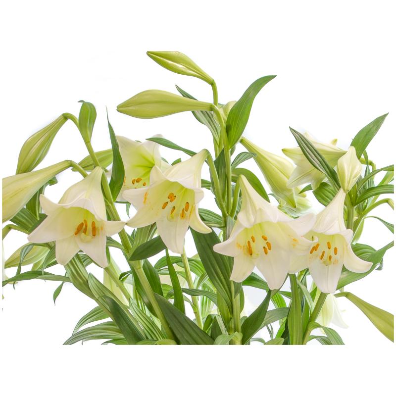 Witte lelies in bloei