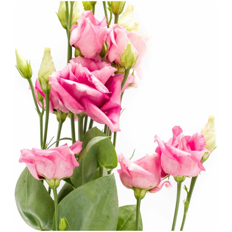 Roze lisianthus