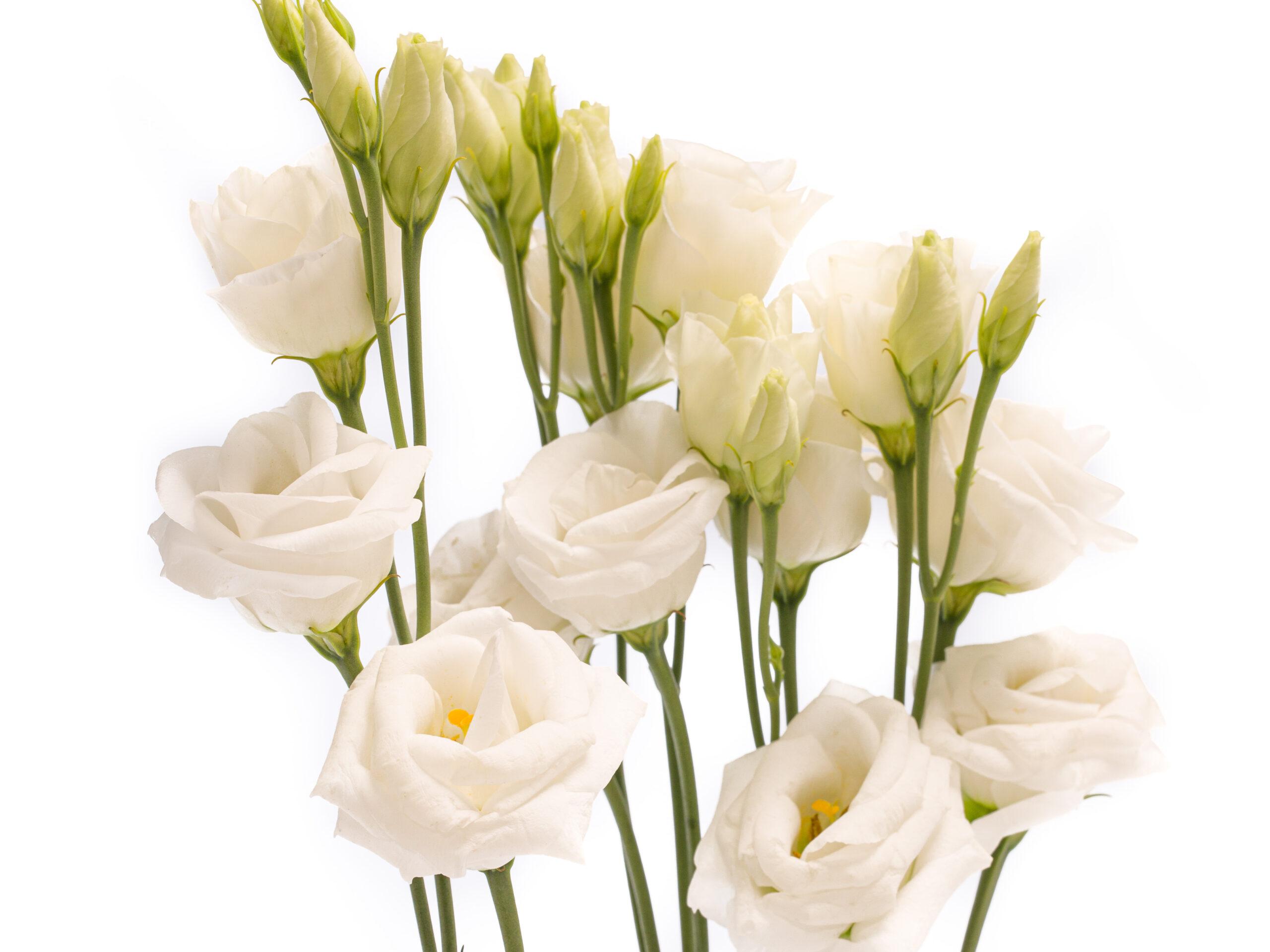 Witte lisianthus