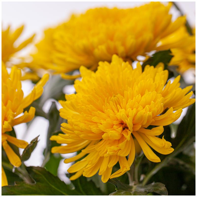 Gele chrysanten kopen